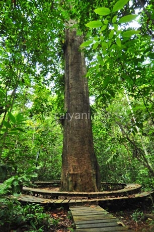 kayu-ulin-taman-nasional-kutai