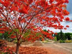 musim-flamboyan-di-kupang
