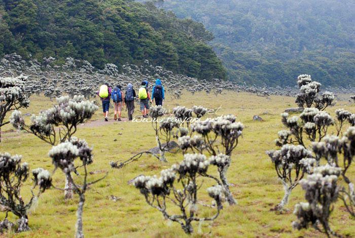padang edelweis suryakencana gunung gede