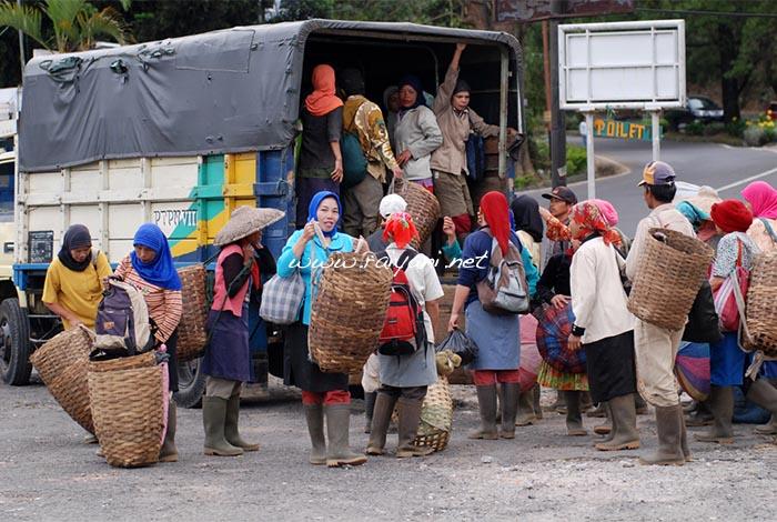 pekerja Kebun teh