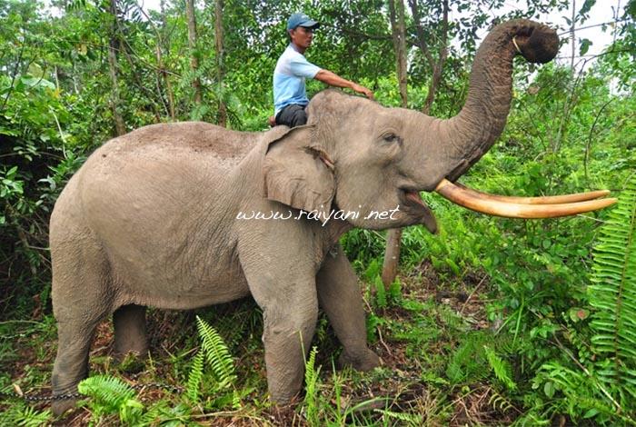 gajah-di-taman-nasional-tesso-nilo