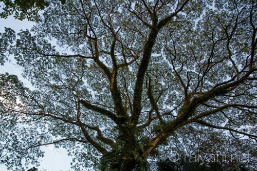 Pohon besar di tepi perigi - raiyani