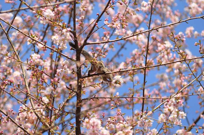 Sakura Nepal