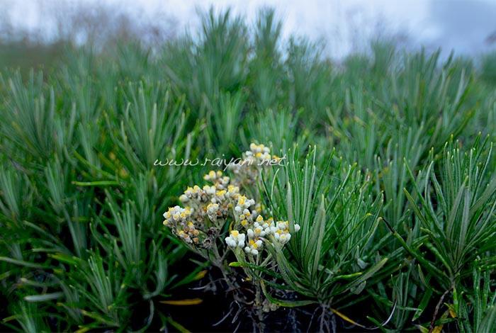 adelweis rinjani NTB
