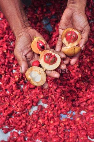 bunga dan buah pala