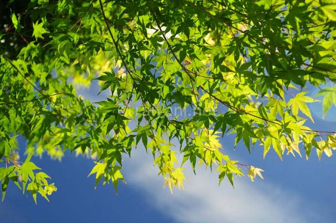 daun marple