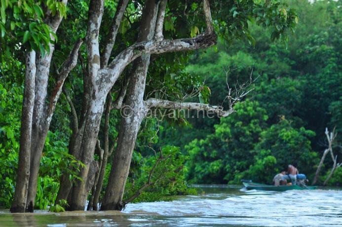 hutan sungai bengalon kutai timur east kalimantan