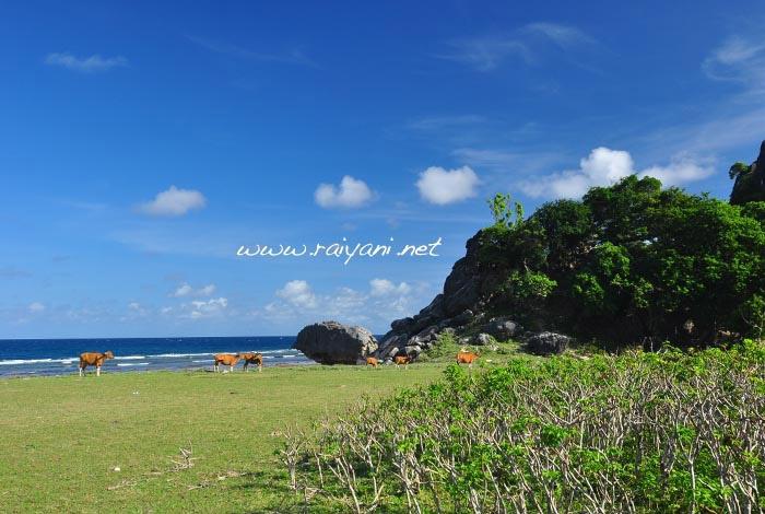 kawasan ternak batu termanu pulau rote NTT