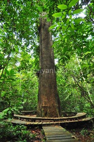 kayu ulin taman nasional kutai east kalimantan
