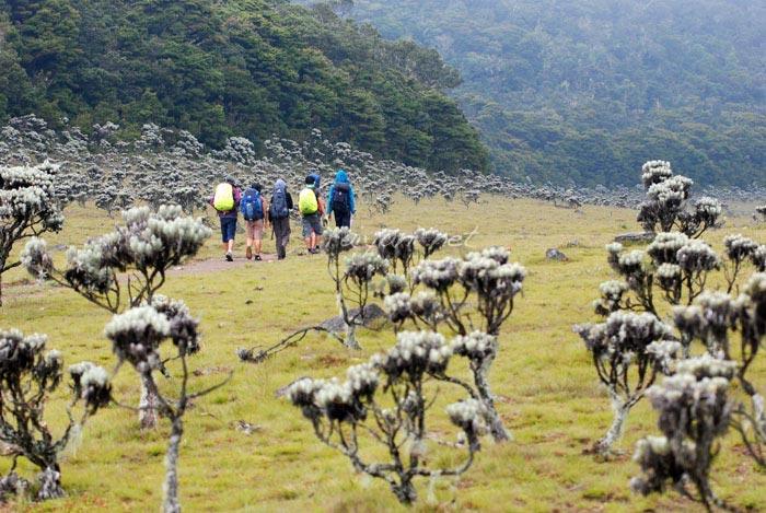 padang edelweis surya kencana gunung gede west java