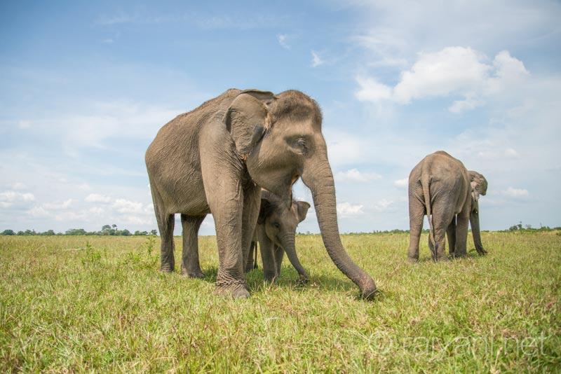 Kelompok Gajah di kawasan PKG 6122